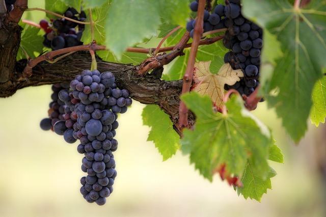Druiventros zuid afrika proeverij, druiven, wijnproeverij, onbekende druiven, bekende druiven, wijnspijs, wijnquiz, vrijdagmiddagborrel, wijnproeverij piemonte, wijnproeverij oostenrijk