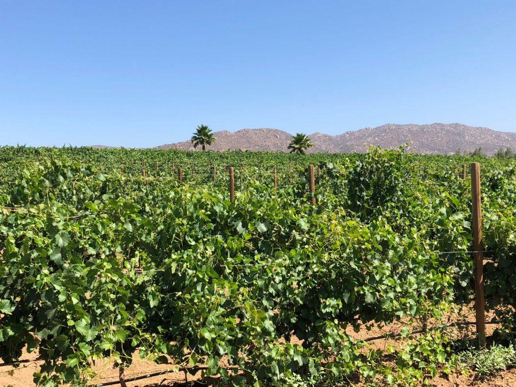 Quinta Monasterio, een van de Mexicaanse wijngaarden waar ik zal werken.