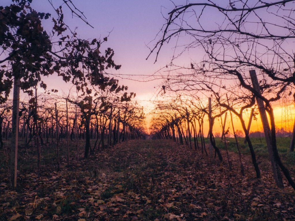 Najaarswijnen om ook tijdens de gure dagen te genieten van een heerlijk glas wijn. Zonsondergang in de wijngaard in de Herfst.