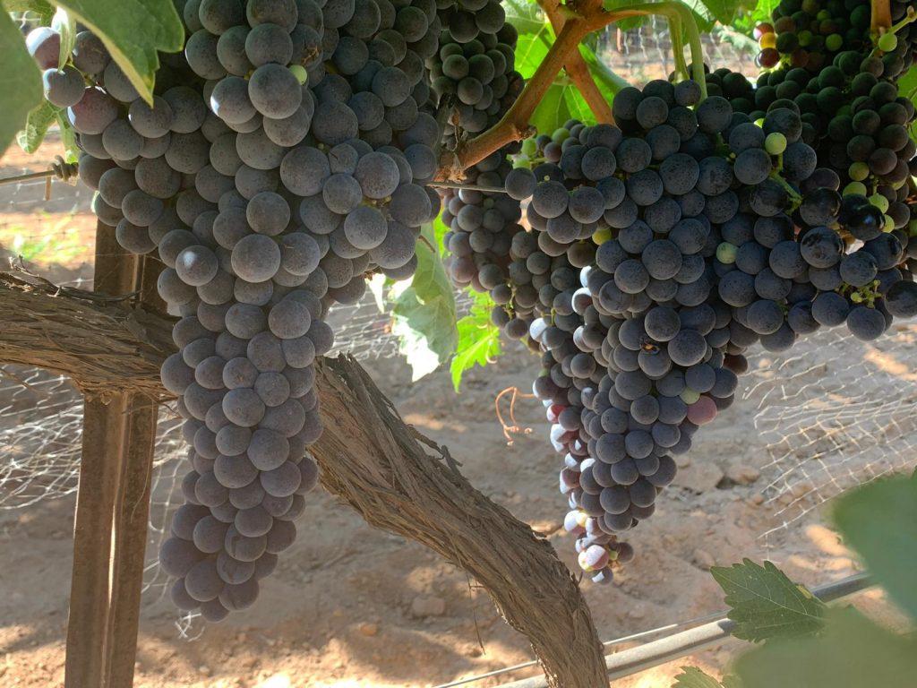 De Nebbiolo hangt er goed bij in de Mexicaanse wijngaarden van Quinta Monasterio