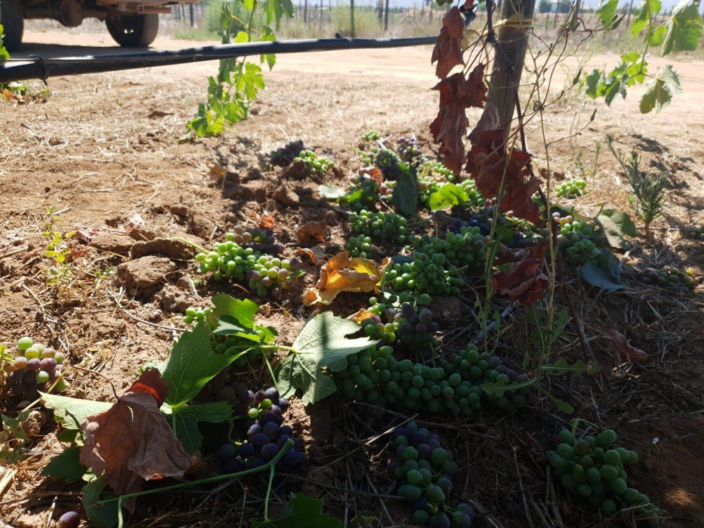 Een gedeelte van welke druiventrossen er weg zijn geknipt tijdens de groene oogst.