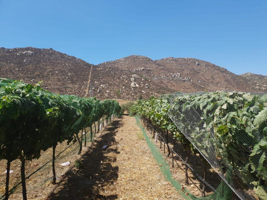 De druivenstokken in de wijngaard van Trevista worden op een natuurlijke manier bemest