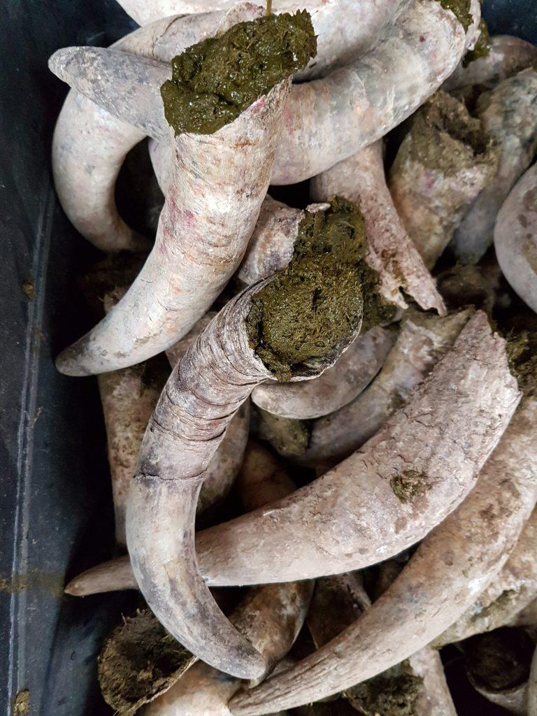 De preparaten in de koehoorn die gebruikt worden in de wijngaard om een biodynamische wijn te maken