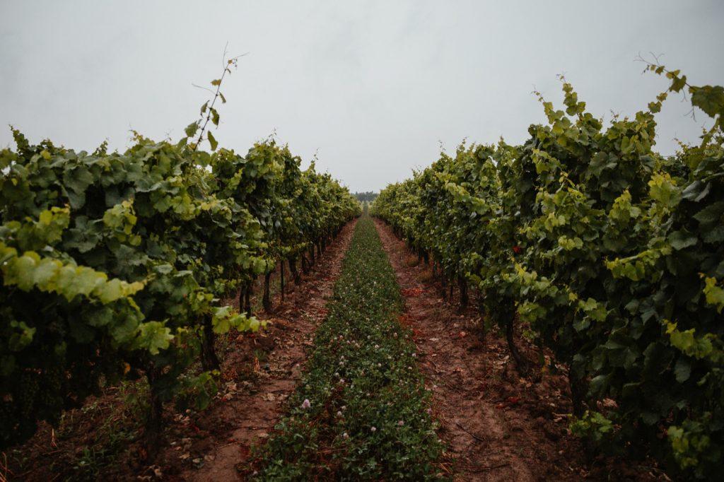 Een biodynamische wijngaard in Italië.