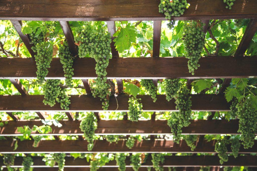 VIQH's Online wijnproeverij: Weet je over de Albariño. Om ervoor te zorgen dat de Albariño geen last heeft van de vochtige grond in Galicië groeien ze langs pergola's. Een bijkomend voordeel is dat de druiven in de schaduw van een dak met bladeren groeien. Hierdoor zijn ze ook beschermd tegen de zon